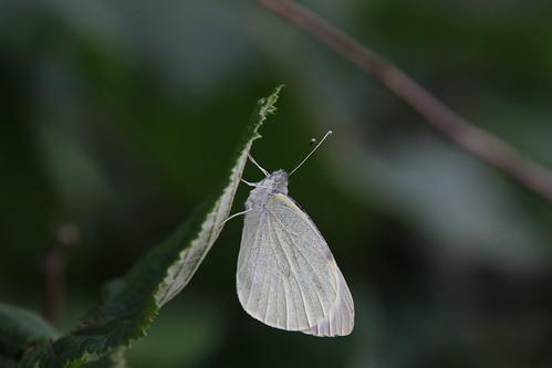 Groot Koolwitje | Large White female (Pieris brassicae) | Onlanden nl