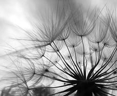 Dandelion in negative