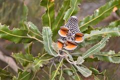 Banksia menzeisii