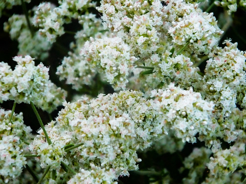 Chaparral Buckwheat Flowers