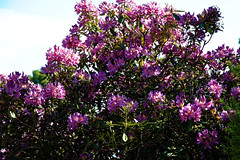 City of London Cemetery magenta rhododendron 4