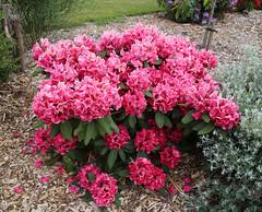 City of London Cemetery - flowering shrubs 14