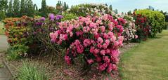 City of London Cemetery - flowering shrubs 10