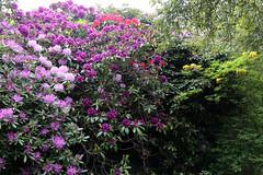 City of London Cemetery - flowering shrubs 07