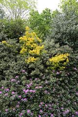 City of London Cemetery - flowering shrubs 04