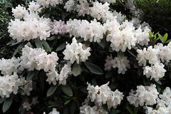 City of London Cemetery - flowering shrubs 03