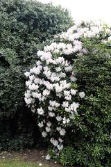 City of London Cemetery - flowering shrubs 02