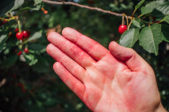Close-up picture of a worker's red hand after cherry picking in the orchard