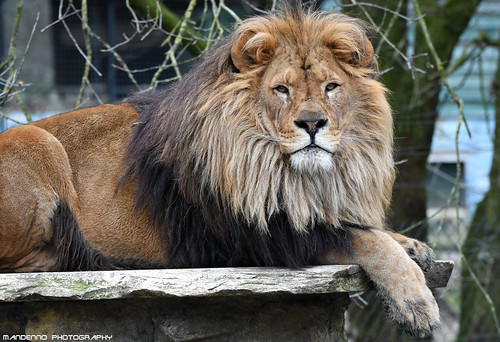African lion - Pakawipark