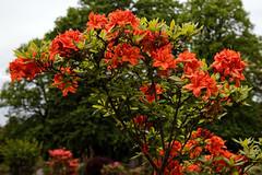 City of London Cemetery orange Gibralta azalea 5