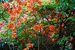 City of London Cemetery orange Gibralta azalea 3