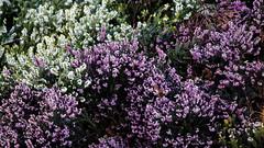 City of London Cemetery flowering shrub 4