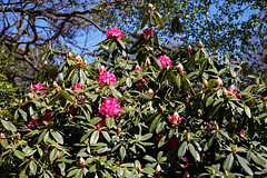 City of London Cemetery and Crematorium ~ pink flowering rhododendron 02