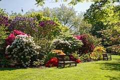 City of London Cemetery - Mixed rhododendron bed and benches