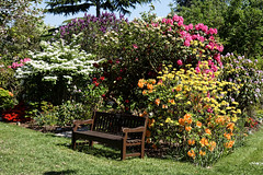 City of London Cemetery - Mixed rhododendron bed and bench