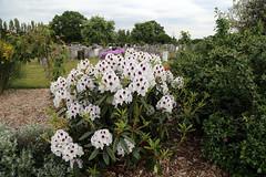 City of London Cemetery - flowering shrubs 13