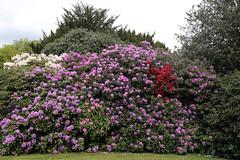 City of London Cemetery - flowering shrubs 01