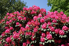 City of London Cemetery - deep pink rhododendron