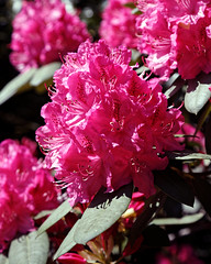 City of London Cemetery - deep pink rhododendron flower