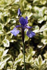 Blue Iris Iridaceae City of London Cemetery, Newham, England 1