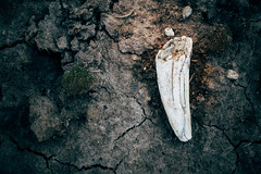 Ancient tusk or fang laying on cracked gray earth