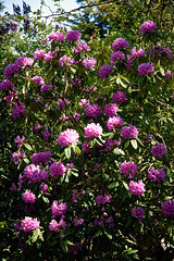 City of London Cemetery pink rhododendron 1
