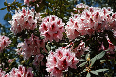 City of London Cemetery pale pink rhododendron 1
