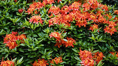 City of London Cemetery orange Gibralta azalea 4