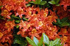 City of London Cemetery orange Gibralta azalea 2