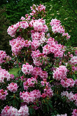 City of London Cemetery magenta rhododendron 3
