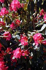 City of London Cemetery flowering shrub 5