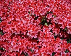 City of London Cemetery flowering shrub 3