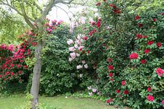 City of London Cemetery - flowering shrubs 09