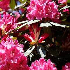 City of London Cemetery - deep pink rhododendron flower buds