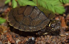 Ouachita map turtle (Graptemys ouachitensis)