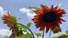 Farm Sunflowers