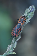 Eurydema ventralis 20-06-21 02
