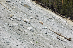 Alpine glacial till (Pleistocene; near Dana Fork, Yosemite National Park, California, USA) 5