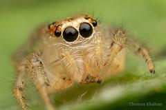 Colonus sp female jumping spider - Oklahoma