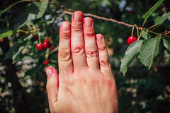 Close-up picture of red hands after cherry picking in the village