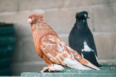 Focused brown and black fancy pigeons standing on the roof