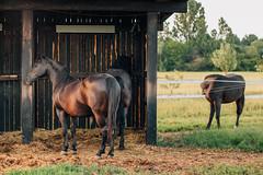 Beautiful dark brown horses standing near the barn