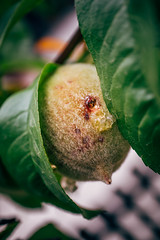 Close-up picture of walnut with green leaves on a tree