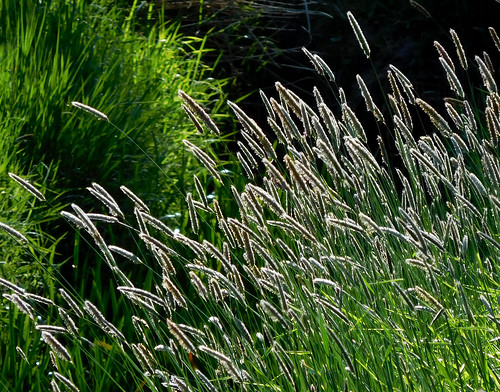 Timothy grass in the evening sunlight