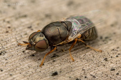 Nemotelus sp fly - Oklahoma