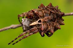 Acanthepeira orb weaver - Oklahoma