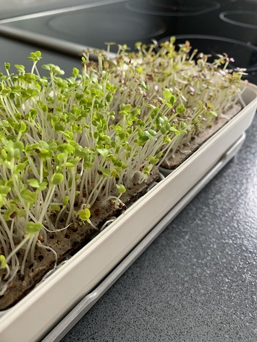 Microgreens growing well