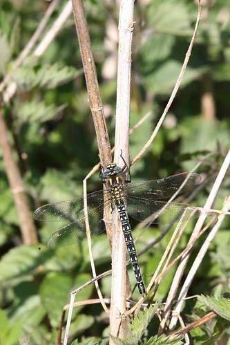 Glassnijder | Hairy Dragonfly young male (Brachytron pratense) | Peizermade nl
