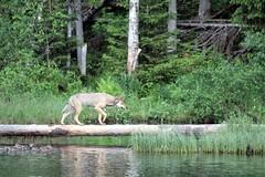 Tha wolf on the deadwood.