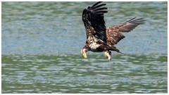 immature bald eagle - success!